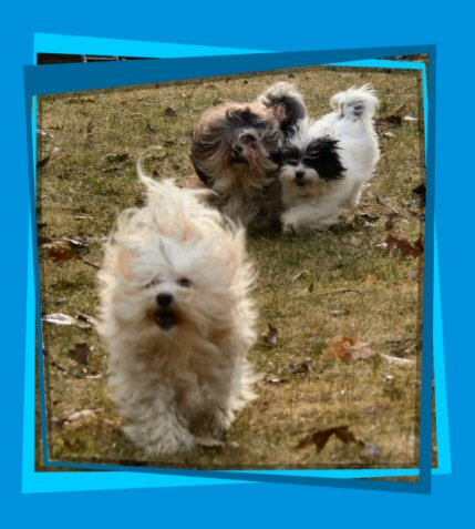 Here come the Havanese!