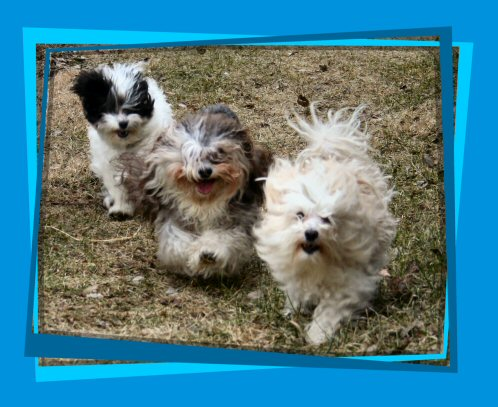 Here come the Havanese!!
