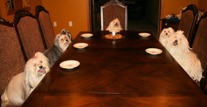 Fun, Its a Havanese Party!!